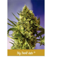 BIG DEVIL AUTO SWEET SEEDS 5UN