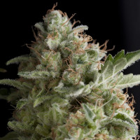 AMERICAN PIE PYRAMID SEEDS 50UN