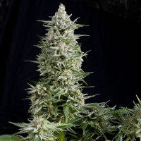 AMNESIA GOLD PYRAMID SEEDS 50UN