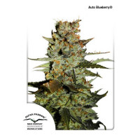 AUTO BLUEBERRY DUTCH PASSION 100 UN