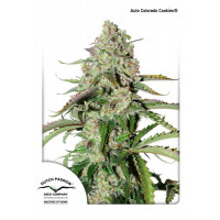 AUTO COLORADO COOKIES DUTCH PASSION 3 UN