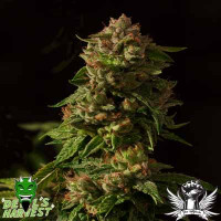 FALLEN ANGEL DEVILS HARVEST SEEDS  REGULARES 10UN