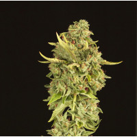 HELLS BELL DEVILS HARVEST SEEDS REGULARES 10UN