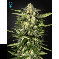 JACK HERER AUTO GREEN HOUSE 10UN