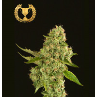 KUCHI DEVILS HARVEST SEEDS REGULARES 10UN
