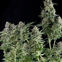 NORTHERN LIGHTS PYRAMID SEEDS 50UN