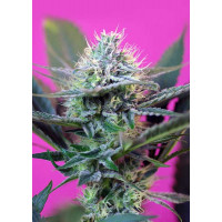 +SPEED AUTO SWEET SEEDS 3UN