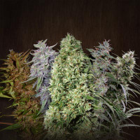 ACE MIX ACE SEEDS REGULARES 10UN