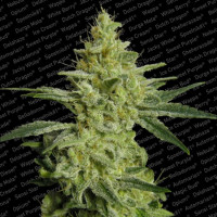 ALLKUSH  PARADISE SEEDS 3UN