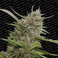 AUTO WHITE BERRY PARADISE SEEDS 5UN