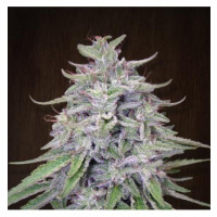 BANGI HAZE ACE SEEDS REGULARES 10UN