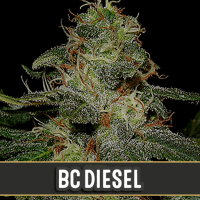 BLUE DREAM BLIMBURN SEEDS 3UN