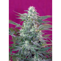 BIG FOOT SWEET SEEDS 3UN  FEM