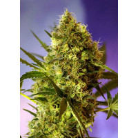 BIG DEVIL #2 AUTO SWEET SEEDS 3+1 REGALO