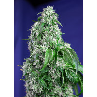 BIG DEVIL F1 FAST VERSION SWEET SEEDS 5UN FEM