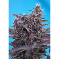 BLACK CREAM AUTO SWEET SEEDS 3+1 REGALO