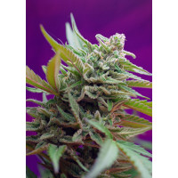 BLACK JACK AUTO SWEET SEEDS 5UN