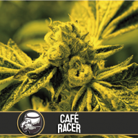 CAFE RACER BLIMBURN SEEDS 9UN