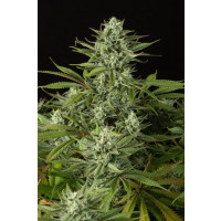 CHEESE CBD DINAFEM 1UN