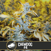 CHOCOLOPEZ BLIMBURN SEEDS 3UN