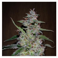 CHINA YUNNAN ACE SEEDS REGULARES 5UN