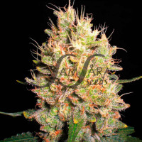 CRAZY MISS HYDE SAMSARA SEEDS 5UN