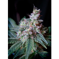 CREAM CARAMEL SWEET SEEDS 25UN
