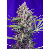 CREAM MANDARINE F1 FAST VERSION SWEET SEEDS 5UN