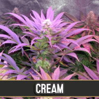 CREAM AUTO BLIMBURN SEEDS 6UN