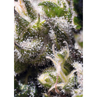 CREAM CARAMEL AUTO SWEET SEEDS 5UN
