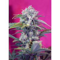CREAM MANDARINE AUTO SWEET SEEDS 3+1 REGALO-21