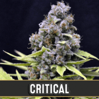 CRITICAL AUTO BLIMBURN SEEDS 3UN