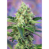 CRYSTAL CANDY SWEET SEEDS 3UN