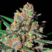 GREEN LOVE POTION SAMSARA SEEDS 10UN