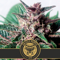 GRIZZLY PURPLE AUTO BLIMBURN SEEDS 6UN