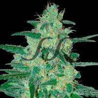 HOLY GRAIL 69 # SAMSARA SEEDS 10UN
