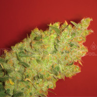 JACK LA MOTA MEDICAL SEEDS 3UN