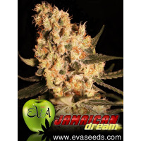 JAMAICAN DREAM EVA SEEDS 9UN