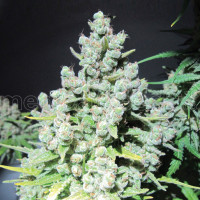 MALAKOFF MEDICAL SEEDS 10UN