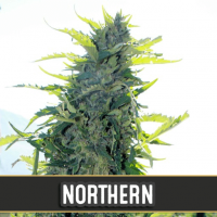 NORTHERN AUTO BLIMBURN SEEDS 6UN