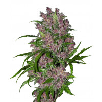 PURPLE BUD AUTOMATIC SENSI WHITE LABEL 5UN