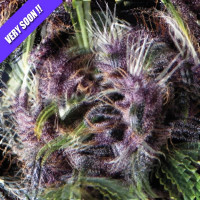 PURPLE PYRAMID SEEDS 50UN