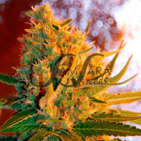 SHOT ADRENALINE AUTOMATIC SAMSARA SEEDS 3UN