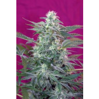 BIG FOOT SWEET SEEDS 5+2 REGALO-21