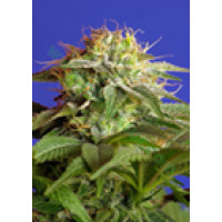 GREEN POISON SWEET SEEDS 100UN-21