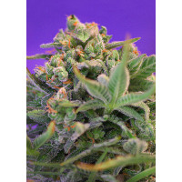 SWEET CHEESE F1 FAST VERSION SWEET SEEDS 100UN
